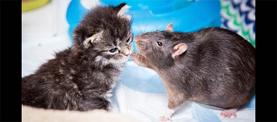 Rats Care for Cats in Brooklyn Cat Cafe