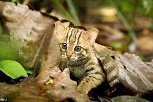 World's Smallest Wild Cat Fits in the Palm of Your Hand
