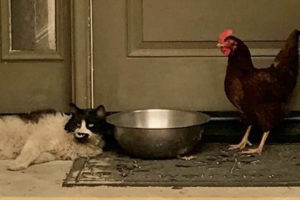Fire Makes Fast Friends of Cat and Hen