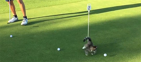 Golf-Playing Cat is Ready to Challenge Tiger Woods